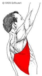 anatomy pick of the lat muscle