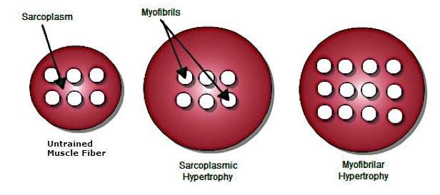 diagram showing difference between sarcoplasm and myofibrillar hypertrophy