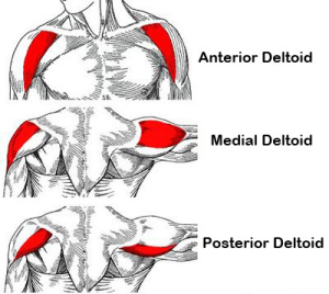 anatomy picture of the 3 shoulder heads