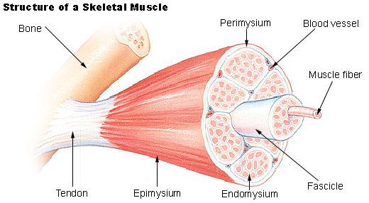 diagram showing muscle fiber breakdown