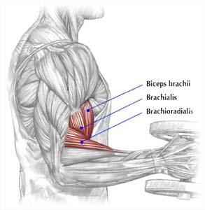 brachialis anatomy pic